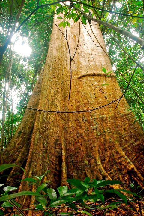 Large tree_1