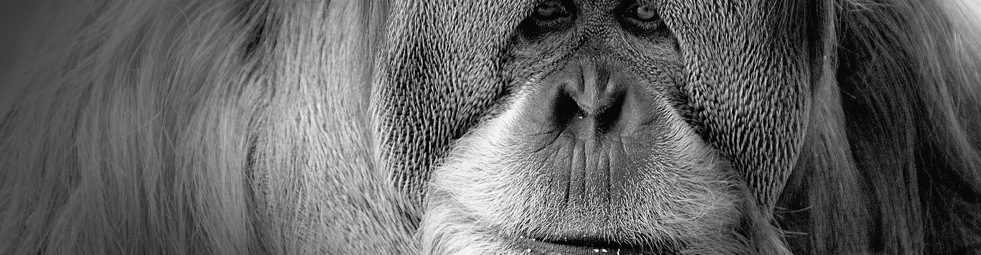 Support the Orangutan Legacy Forest