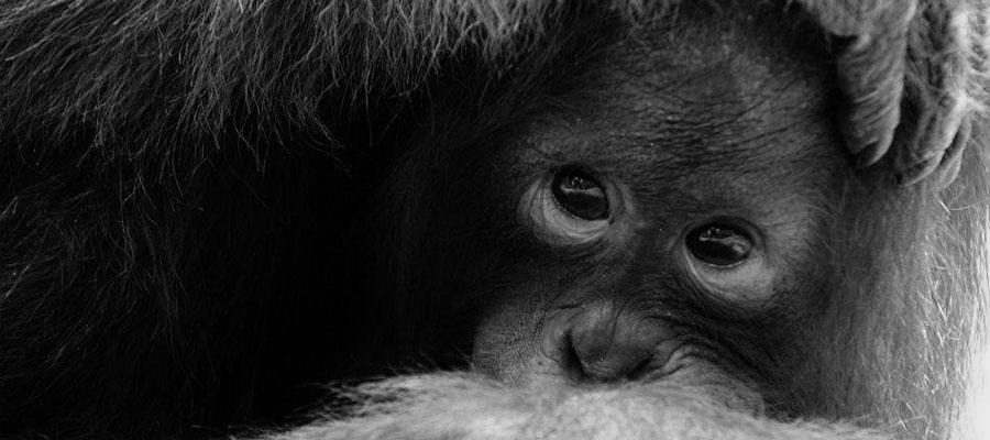 wildlife_orangutan2