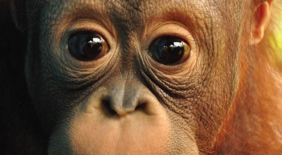 What S An Orangutan S Favourite Fruit Orangutan