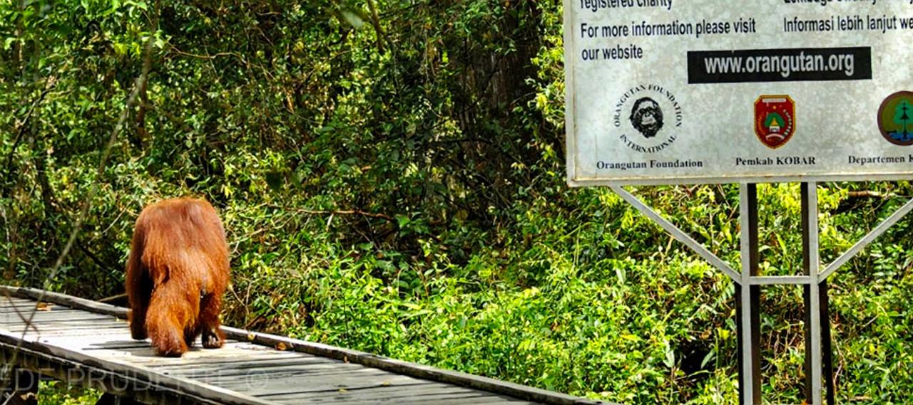 Camp Leakey - Orangutan on Boardwalk