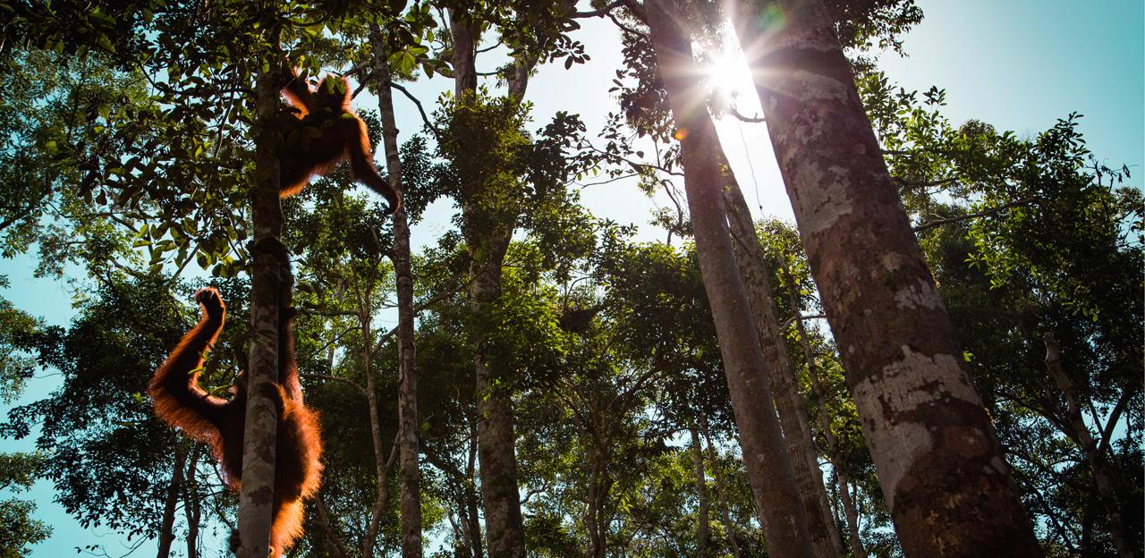 Borneo - forest - Orangutans