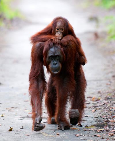 Camp Leakey Orangutan Mother & Baby