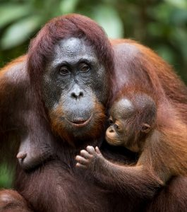 Mother & Baby Orangutan Legacy Forest