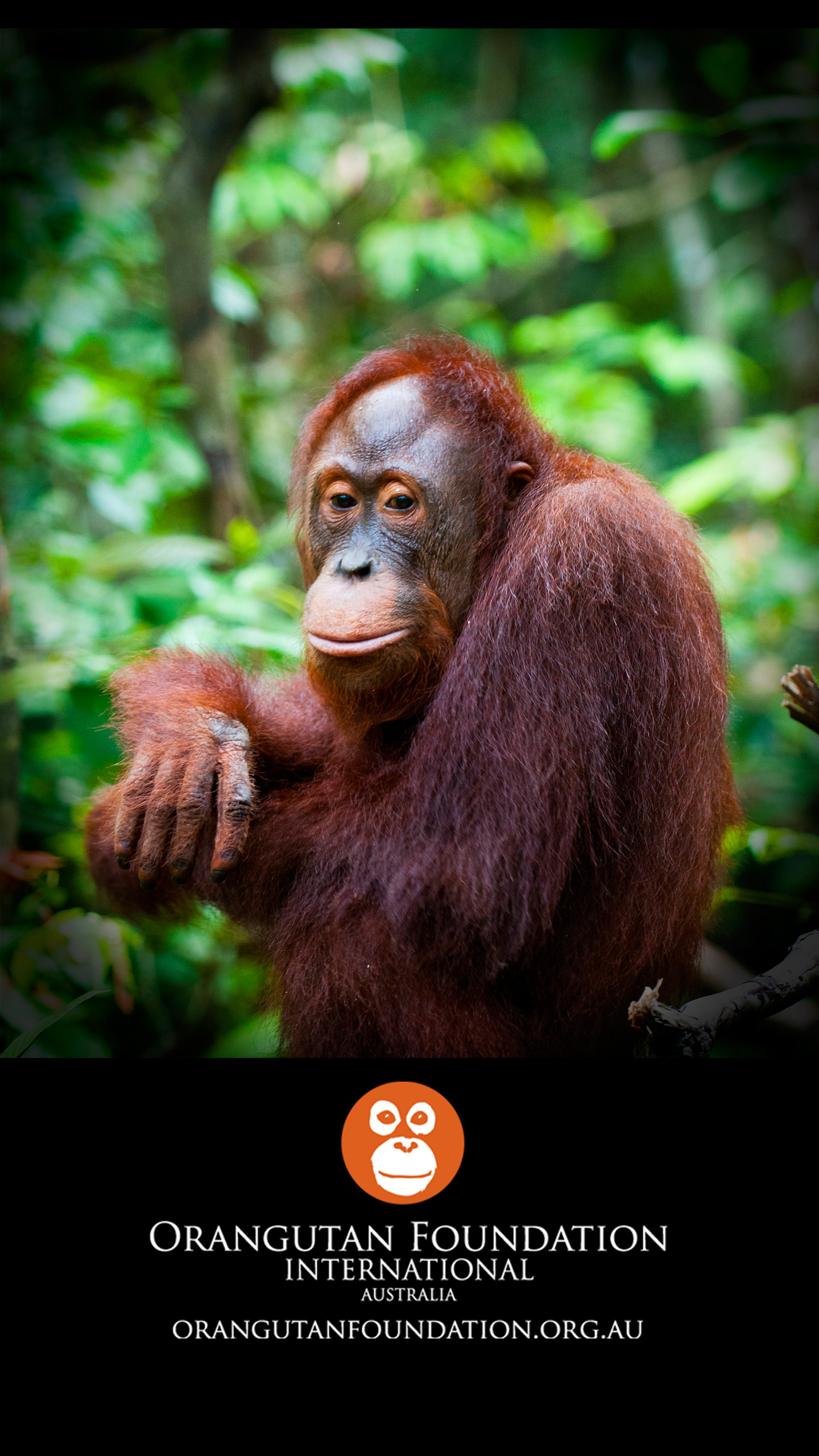 Wallpapers Orangutan Foundation International Australia