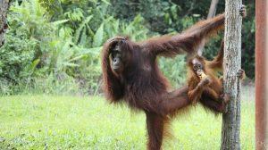 Orangutan - Orangutan Facts