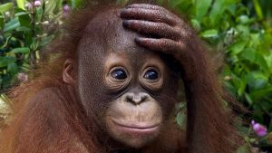 Orangutan Facts - What does orangutan mean