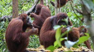 Orangutans - Orangutan Behaviour