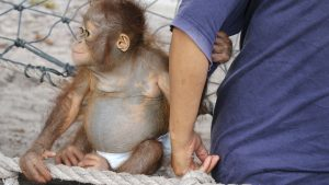 Orangutan Facts - Are orangutans related to humans