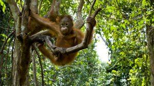 Orangutans - Orangutan Ecology