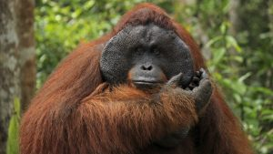 Are orangutans strong