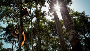 Do orangutans live alone.