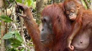 Orangutan Facts - Where do orangutans sleep