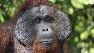 Why do male orangutans have cheeks