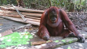 Orangutan Facts - Are orangutans intelligent