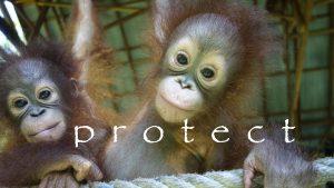When is orangutan awareness week