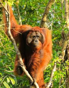 Orangutan Biology - Male