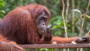 How many species of orangutan?