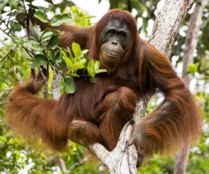 Orangutan Biology - Female