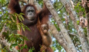 Life history - Infant orangutans stay in close contact with their mothers