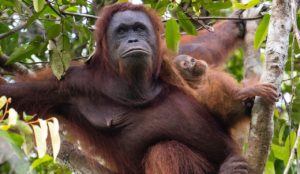 Orangutan Biology - Growth - mum and baby