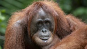 Why are orangutans in danger of becoming extinct?