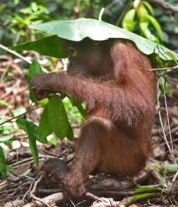 Orangutan behaviour - leaf as hat