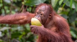 What do orangutans eat?