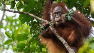 Do orangutans live in trees or on the ground
