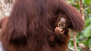 How often do orangutans give birth?