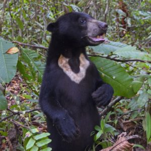 Buddy the Sun Bear