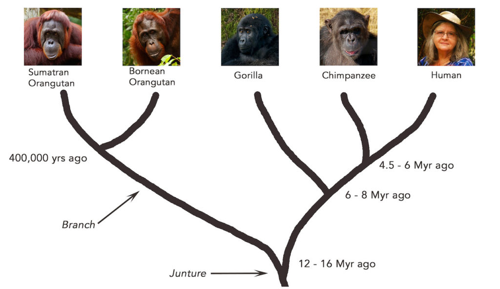 Great Ape Evolution